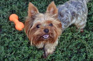 how-to-house-train-a-yorkshire-terrier