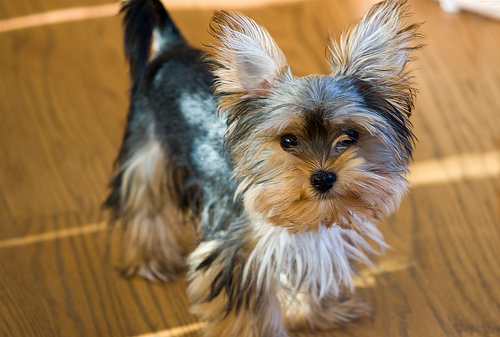 Morkie-Puppy-Hairstyles