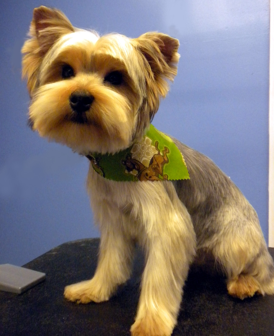 Related Pictures yorkie hair styles yorkie haircut examples