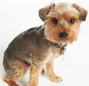 Yorkie Poodle with a Puppy Cut